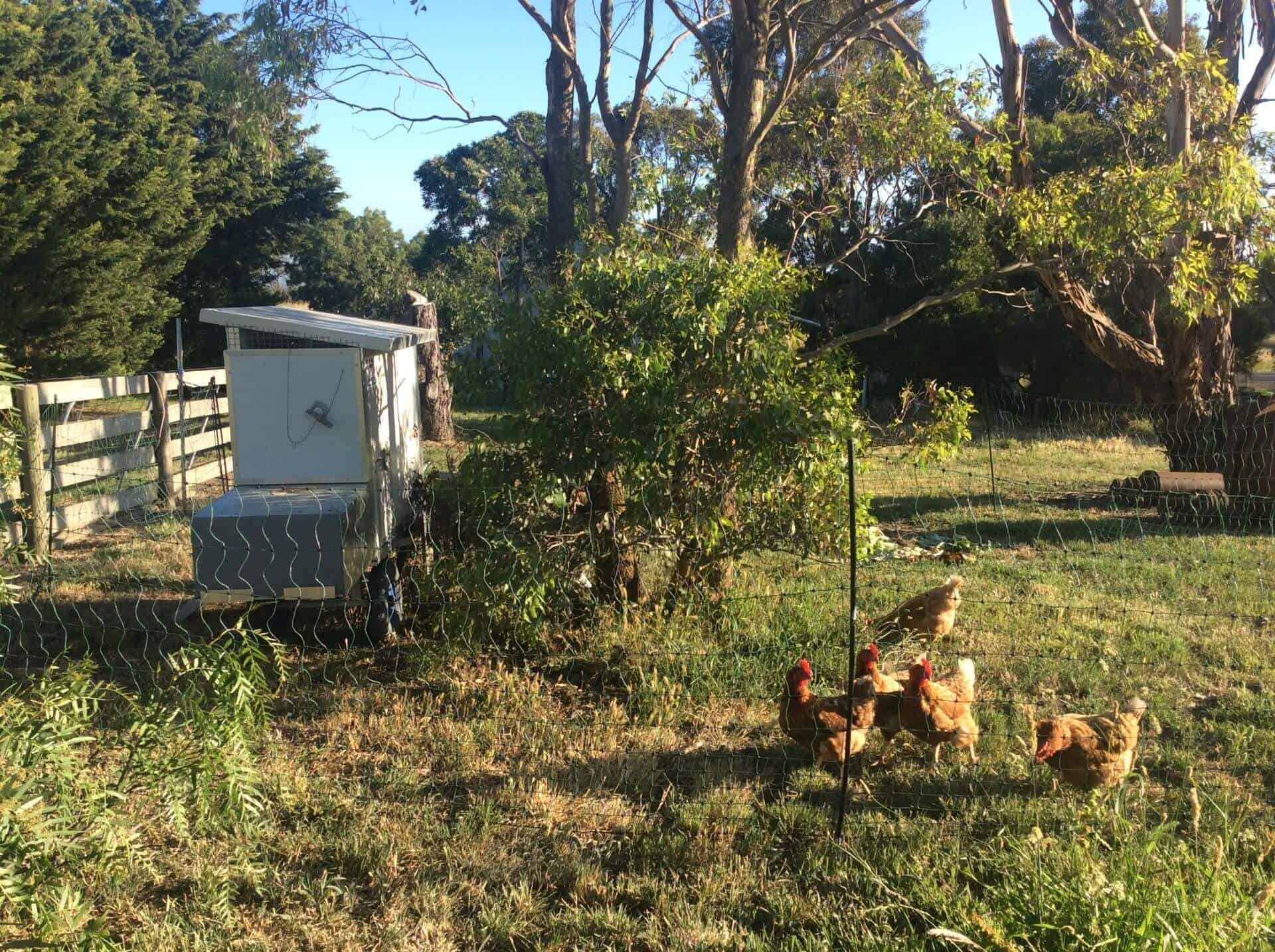 Free range chickens enjoying their portable chicken shed from Moriac, Victoria