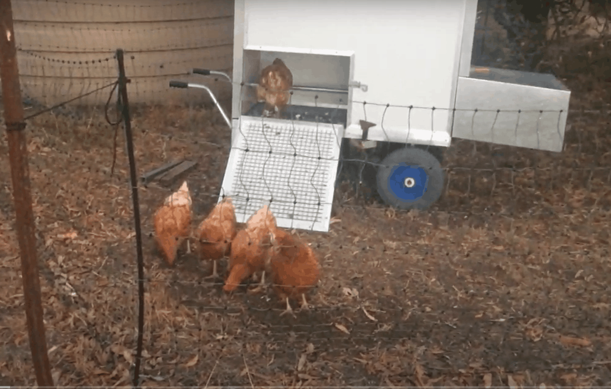 Chooks going to bed in the shed