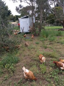 30-Bird-Chook-Shed-with-Chooks