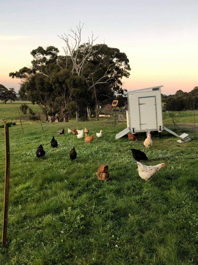 Testimonial images from Courtney Watts for a 30 bird chook shed